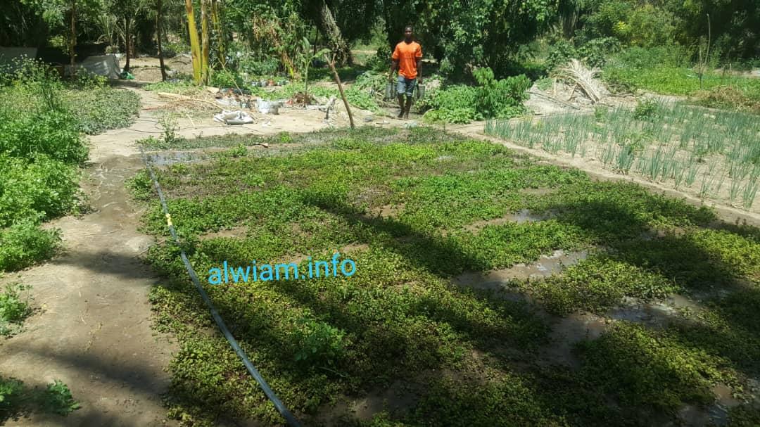حقول النعناع والقزبور والبصل بحدائق السبخة ـ تصوير الوئام